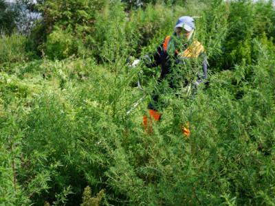 В Магнитогорске продолжают совместную работу по уничтожению посевов дикорастущей конопли